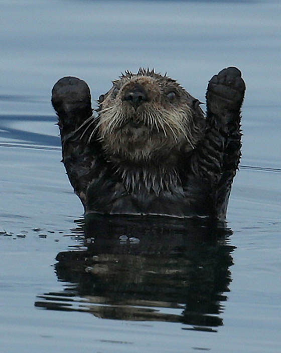 Funny Otter Pictures : funny, otter, pictures, Photography, Funny, Otter, Humanized, Expression, Design