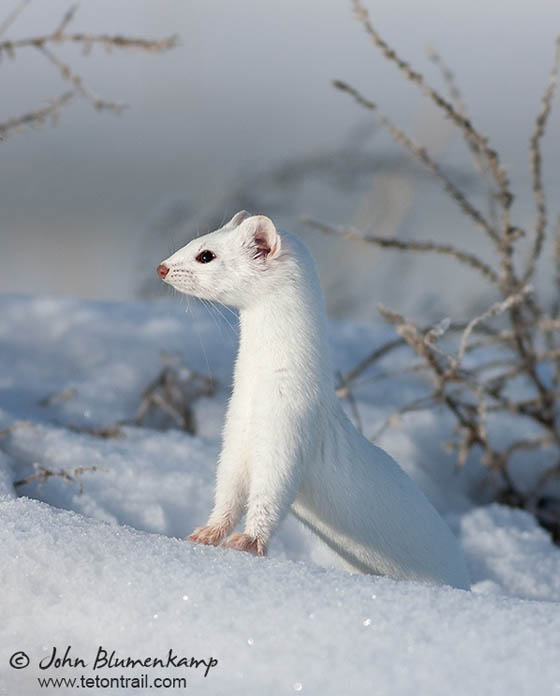 Adorable Photographs Of Ermine Design Swan