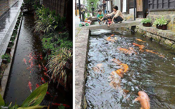 Image result for Koi Fishes Even Live In Drainage Channels In Japan