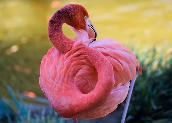 Magnificent Photos of Flamingos  Design Swan