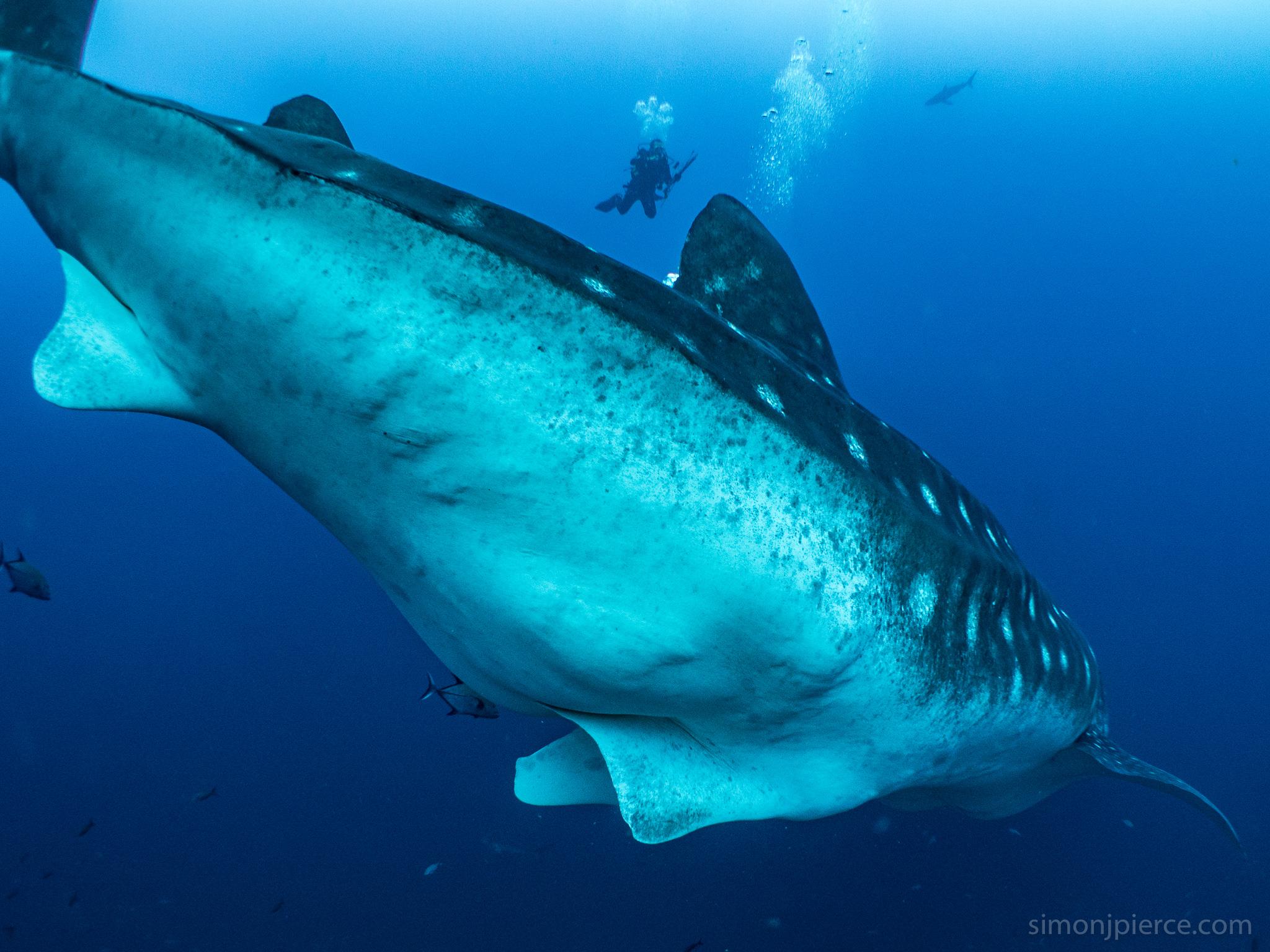 Pregnant Whale Shark In Gal By Simon Pierce