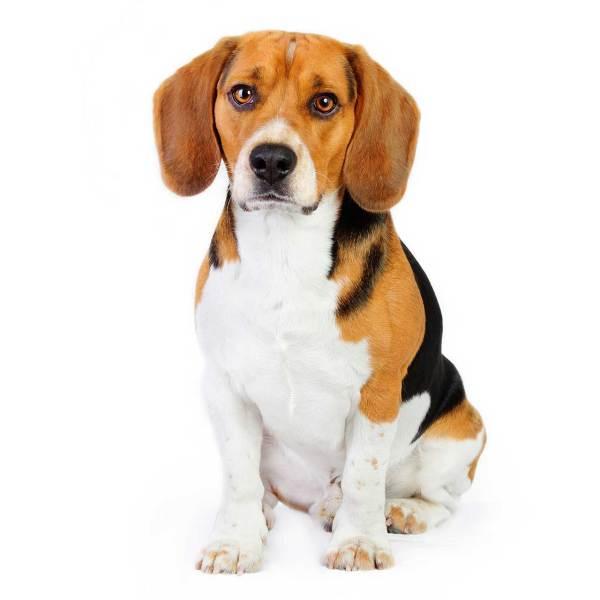 Beagle Information Dog Breed