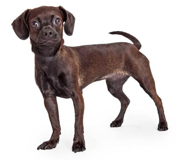 Cheagle Dog Breed