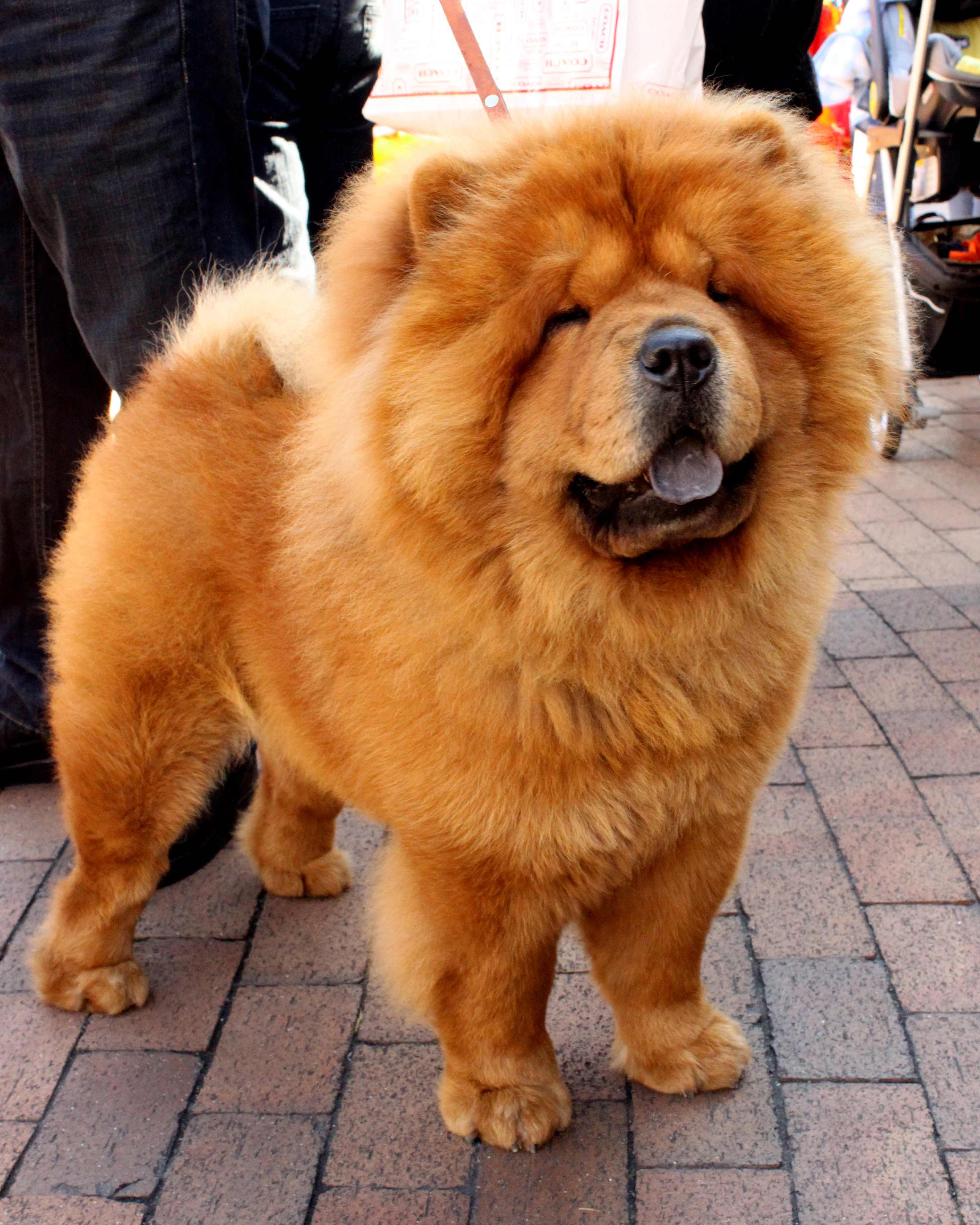 Mini Chow : Breed, Information,, Pictures,