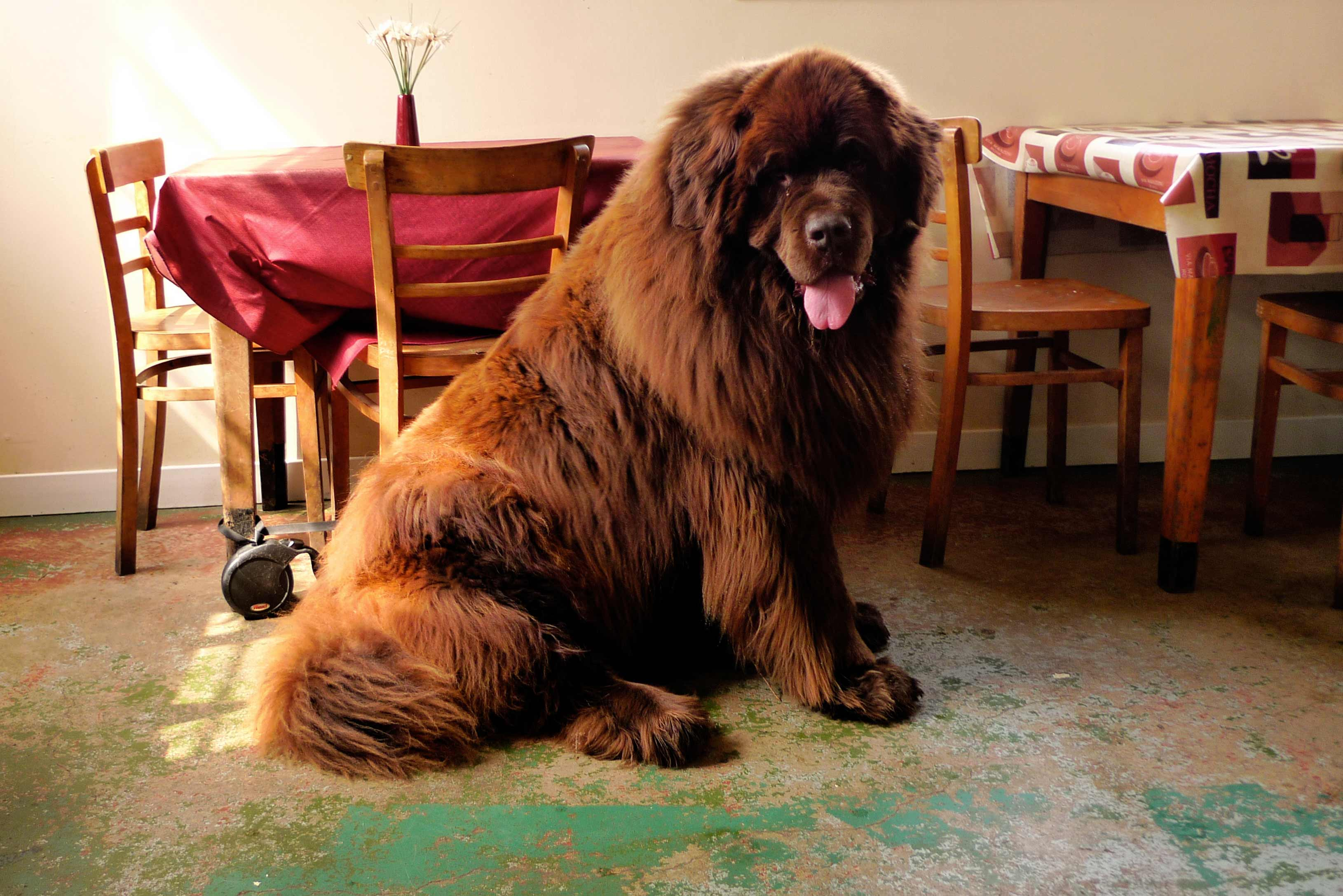 Newfoundland Dog Breed  Information Pictures  More