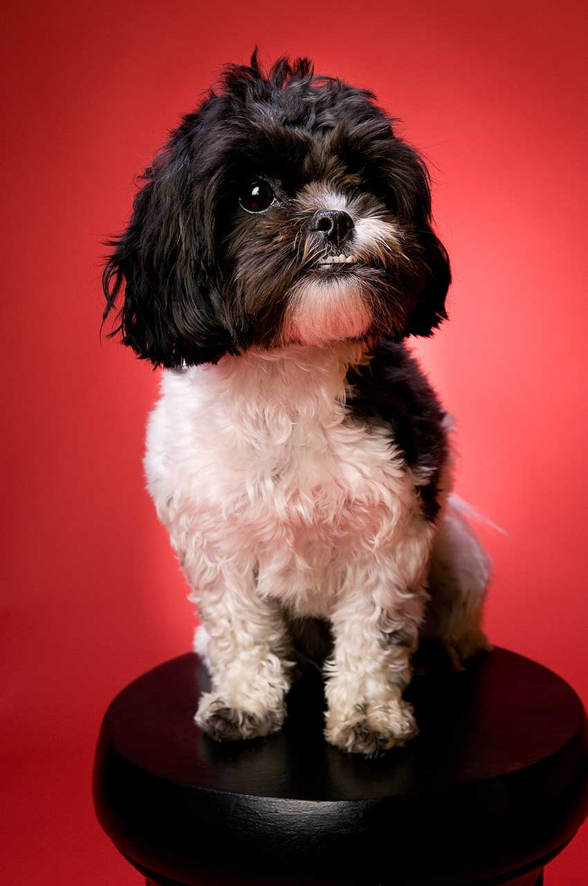 ShihPoo Dog Breed  Everything About ShihPoos
