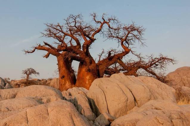 Os pesquisadores temem que a mudança climática esteja matando os baobás