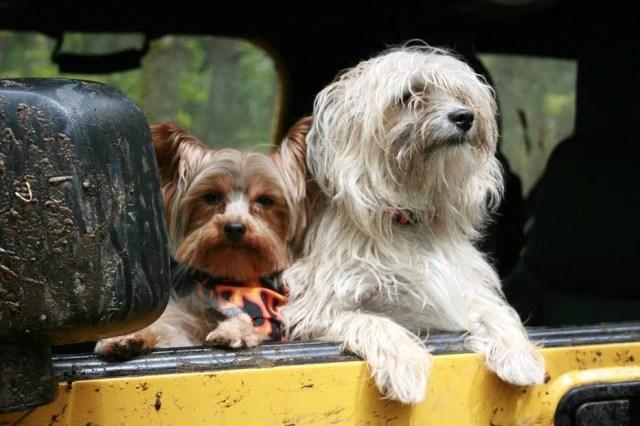 Animais acompanham seus donos no drive-thru