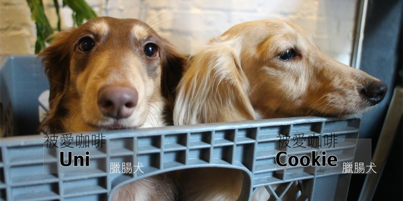 寵物毛小孩 台南巷弄咖啡店,超療癒眼神臘腸犬店狗出沒! 台南市東區|臘腸狗-Uni Cookie 被愛咖啡