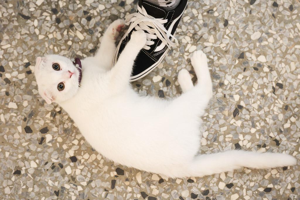 台南 鍋燒咖啡丼飯店裡的激萌兩隻小白貓,親人不怕生,還會靠近迎賓陪吃 台南市東區清水號鍋燒 干貝、花枝