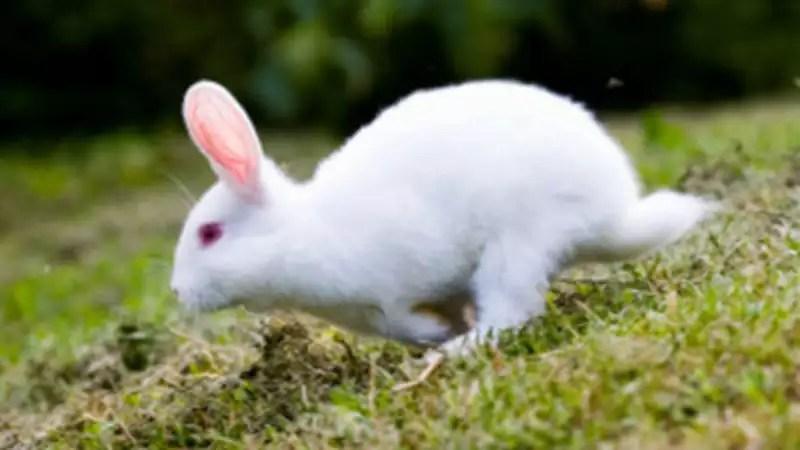 rabbit running the economic