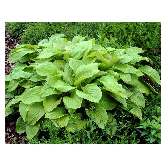 royal standard hosta plant perennial