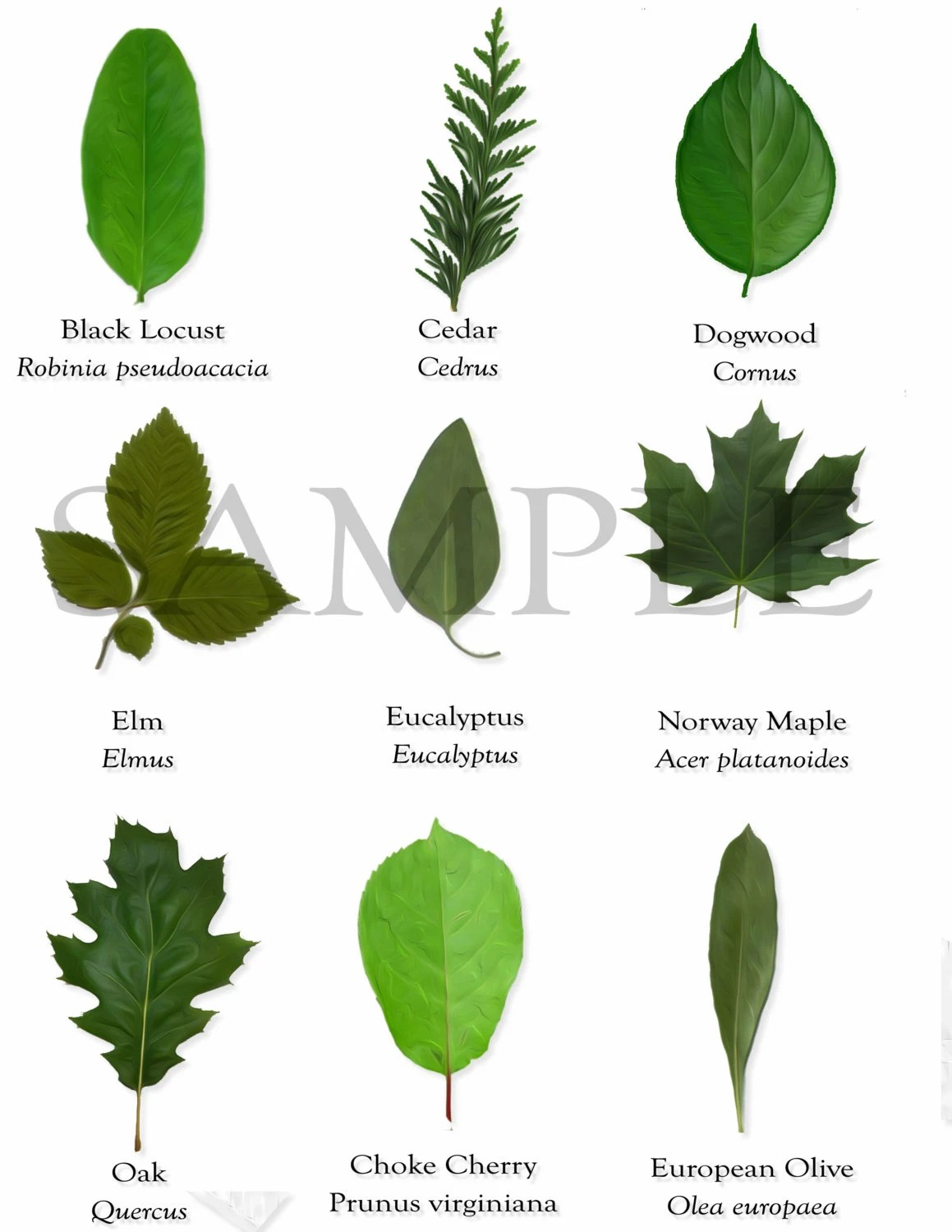 18 Clipart Tree Leaves With Scientific Names For Diy