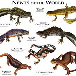Lizard Life Cycle Diagram Jenn Air Oven Parts Newts Of The World