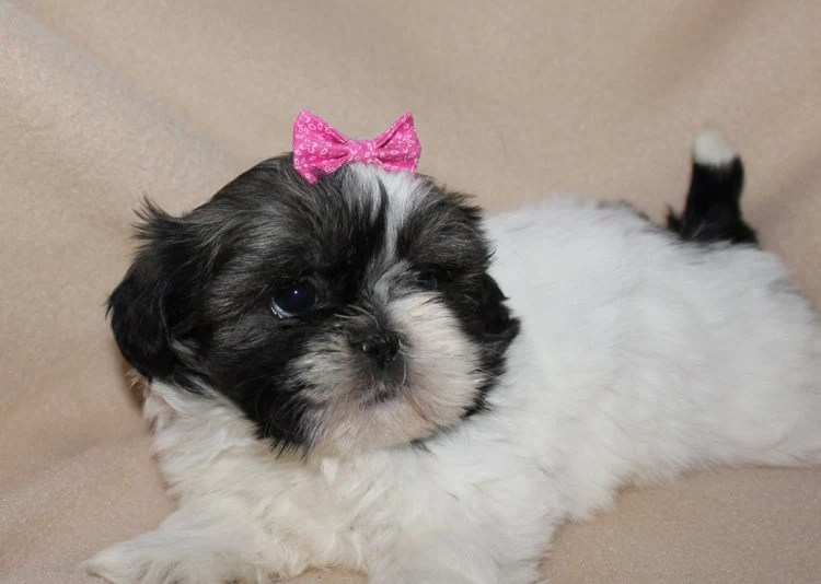 small pink dog hair bow. bowtie
