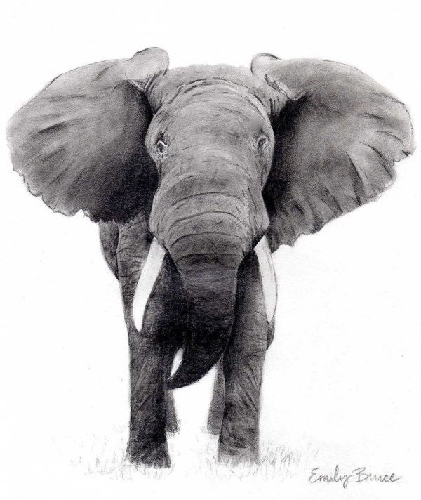 White Charcoal Elephant Drawings