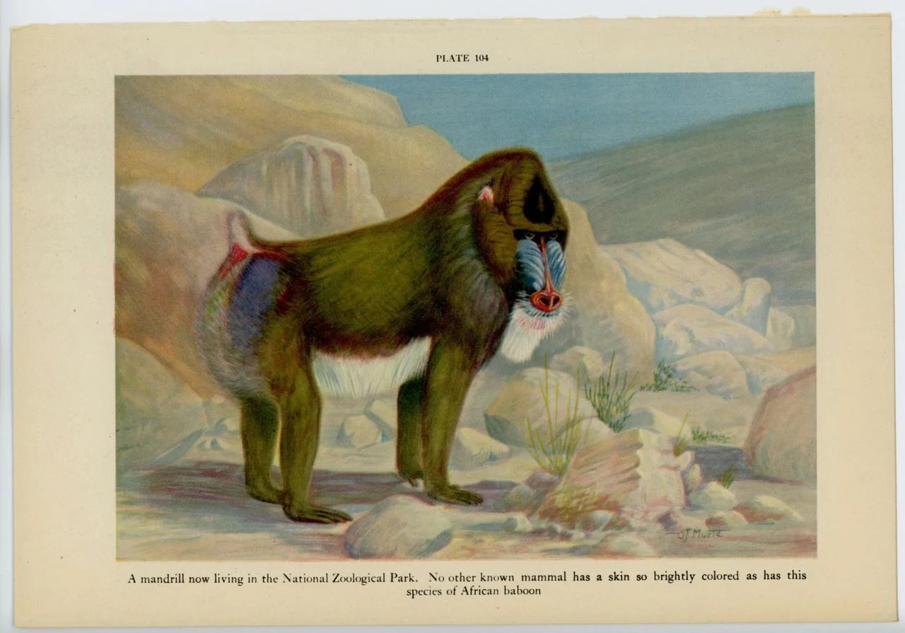 1934 Mandrill Baboon Print Original Vintage Jungle Animal