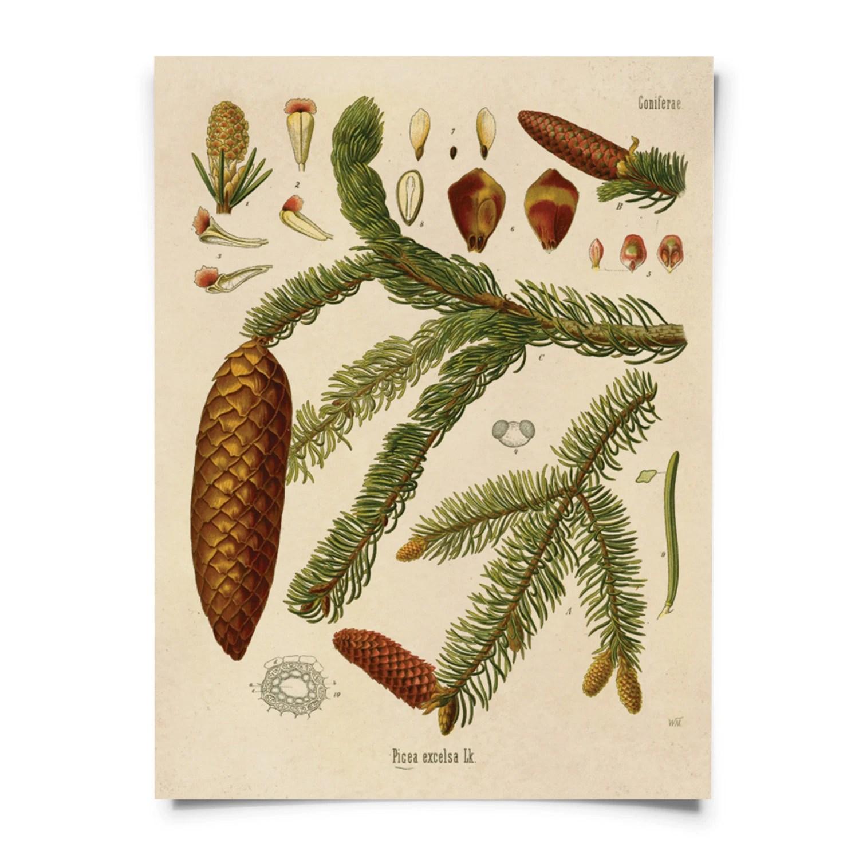 Botanical Norway Spruce Tree Diagram Print. Educational