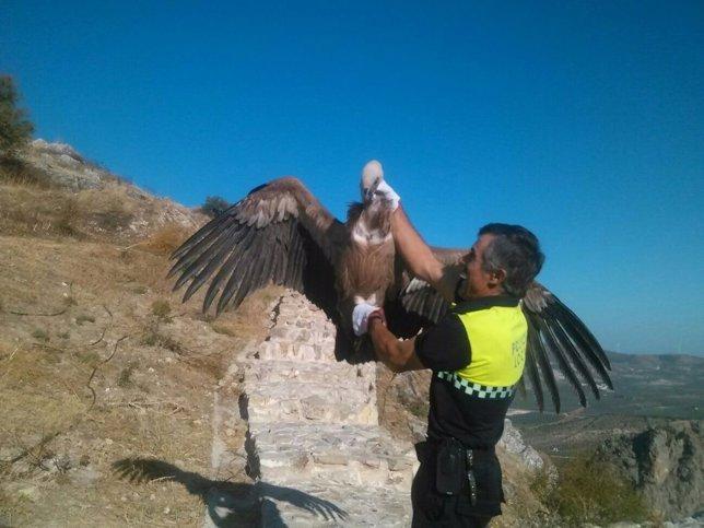 Buitre rescatado por la Policía Local de Archidona