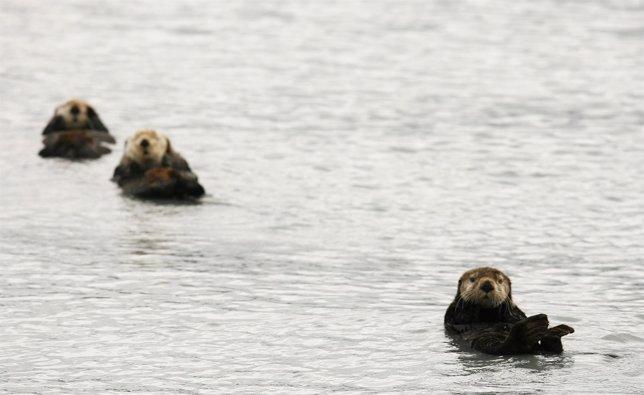 Animales en peligro de extinción: la nutria marina