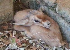 Nace un ejemplar de gacela dorcas en el Zoobotánico de Jerez