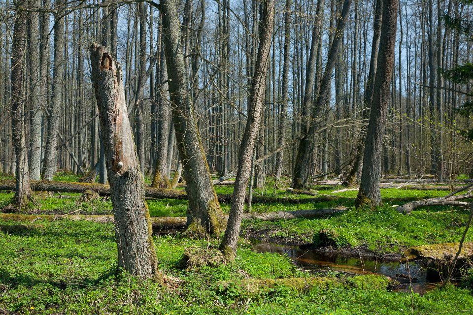 La foresta di Bialowieza  Polonia