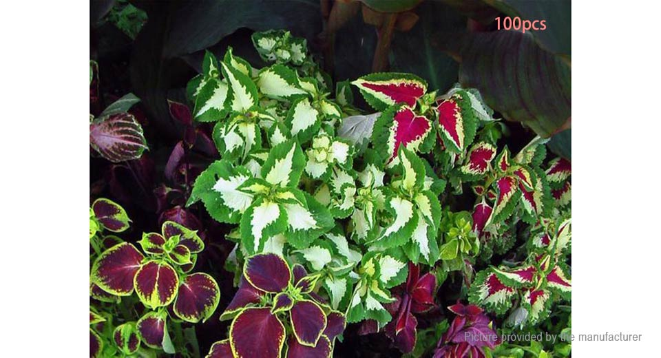 Coleus Rainbow Mix Home Garden Plant Foliage Flower Seed (100-Pack)