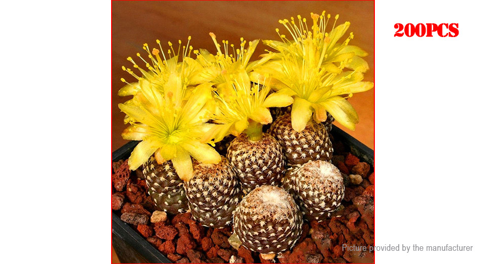 Yellow Ball Cactus Seeds Rare Celestial Flower Potted Succulent Plant (200-Pack)