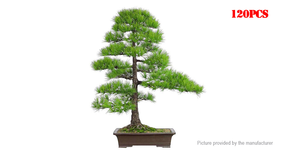 Black Pine Tree Seeds Japanese Pine Tree Garden Potted Plant (120-Pack)