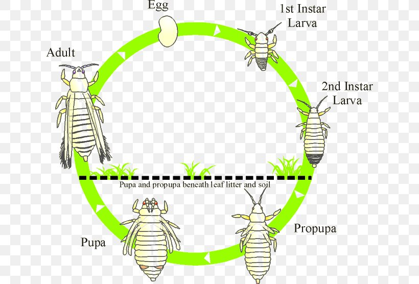 Thrips Insect Biological Life Cycle Biology Thripidae Png 640x556px Thrips Area Avocado Biological Life Cycle Biological