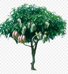Tree Mango Png 2458x2678px Juice Branch Drawing Flower