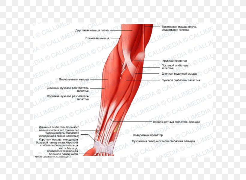 Brachialis Muscle Elbow Anatomy Brachioradialis, PNG ...