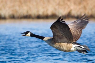 Ganso-do-canadá em pleno vôo. Autor: Daniel D'Auria.