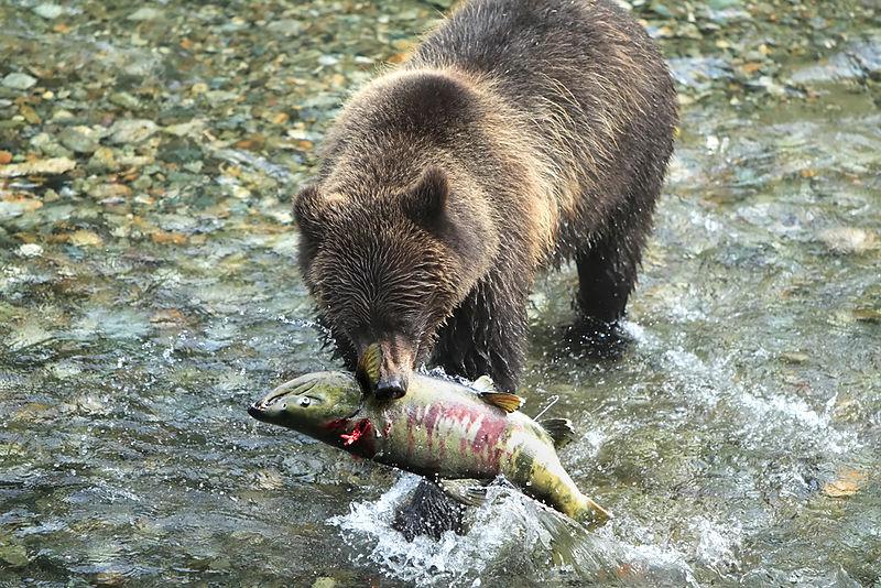 Urso-pardo | Vida em Destaque