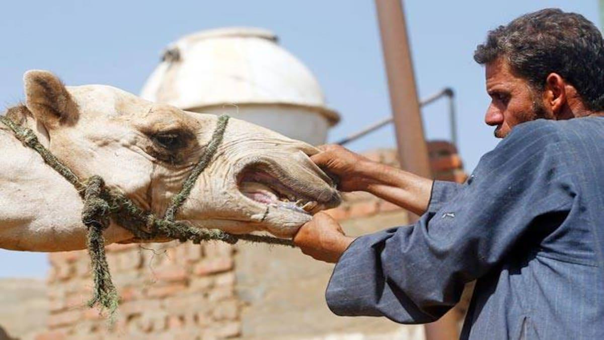 Sabias que a dentada de um camelo pode dissolver os nossos ossos?
