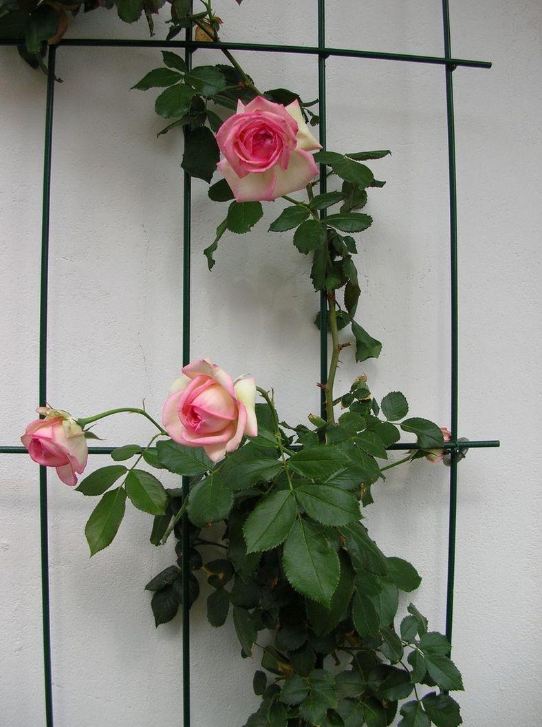 quale rosa rampicante per vaso  Compagnia del Giardinaggio
