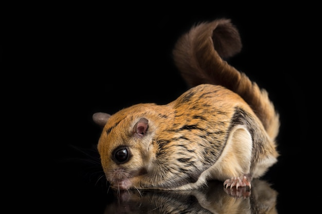 Flying Squirrel Images | Free Vectors, Stock Photos & PSD