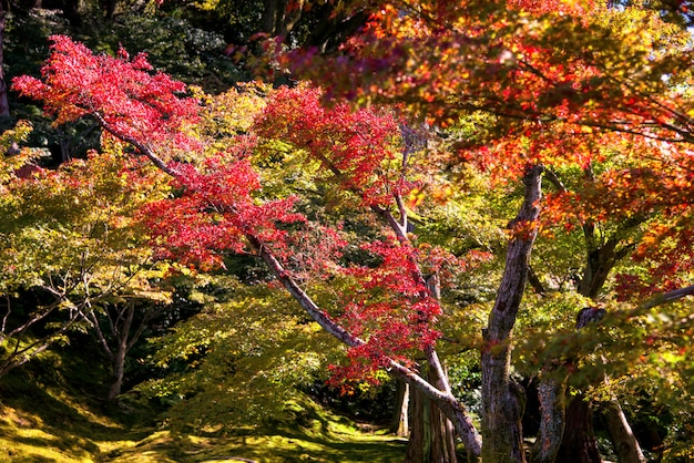 Beautiful landscape of bamboo grove in the forest at arashiyama kyoto Photo   Free Download
