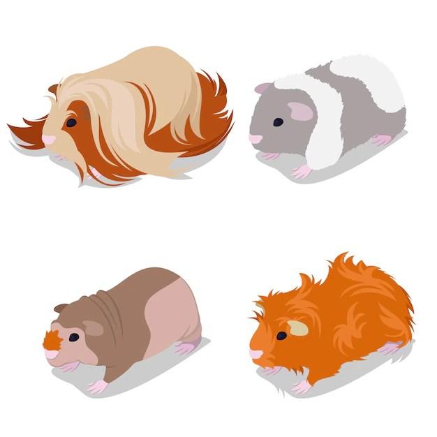 premium vector cute little guinea pig