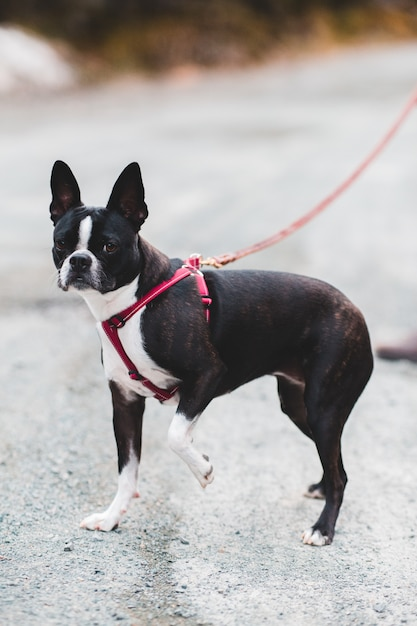 Petit Chien Noir Et Blanc : petit, chien, blanc, Petit, Chien, Blanc, Court, Laisse, Rouge, Photo, Gratuite