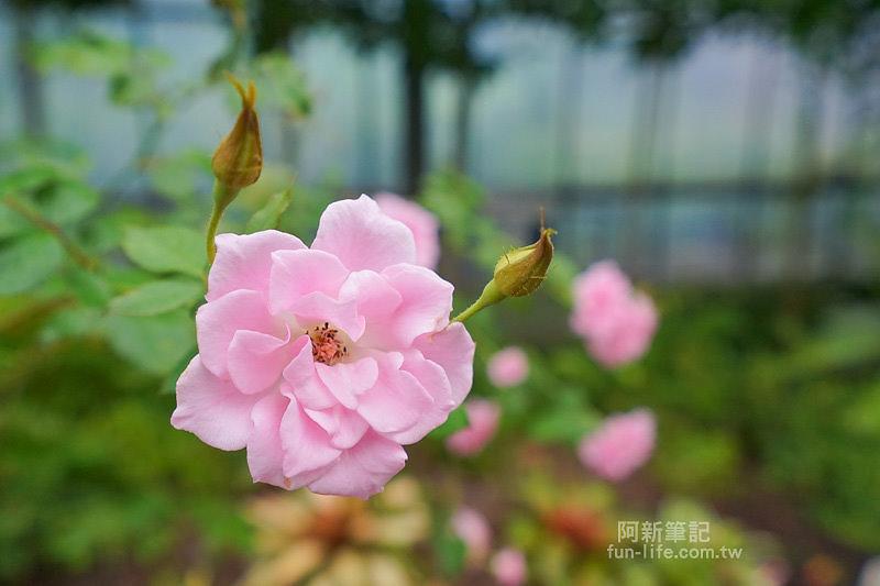 蘿莎玫瑰莊園-44