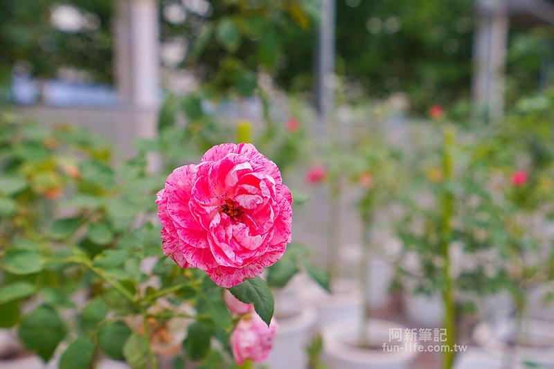 蘿莎玫瑰莊園-36