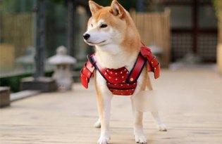 [寵物服飾]Samurai Age毛小孩武士裝