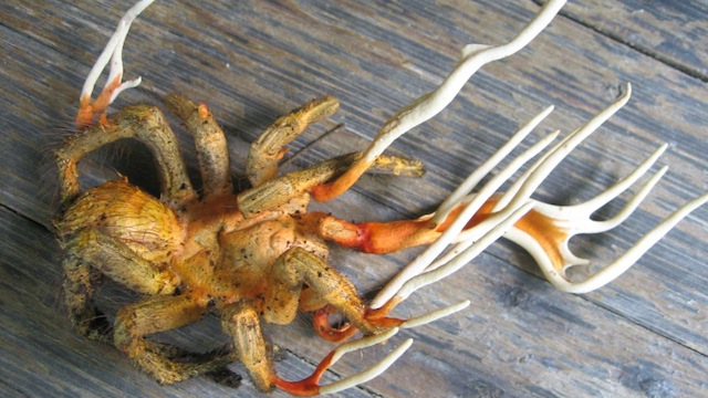 Fungal infection causes tarantula to grow antlers