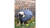 A Pug Dressed as a Wrecking Ball Might Win $25,000 in ...