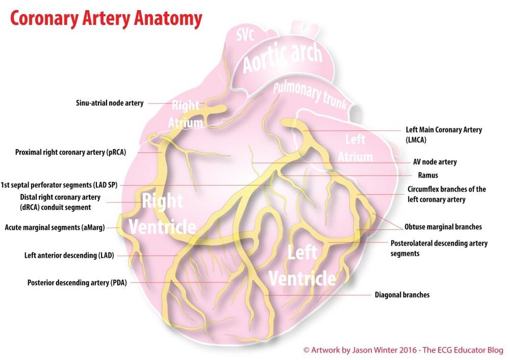 medium resolution of coronary artery anatomy medstudent anatomy coronary artery anatomy circumflex