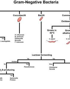 Gram negative bacteria overview identification algorithm diagnosis microbiology gramnegative also rh grepmed
