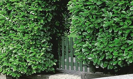 12 Cherry Laurel Hedge Plants  Groupon Goods
