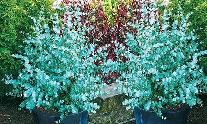 Eukalyptus Azura Pflege