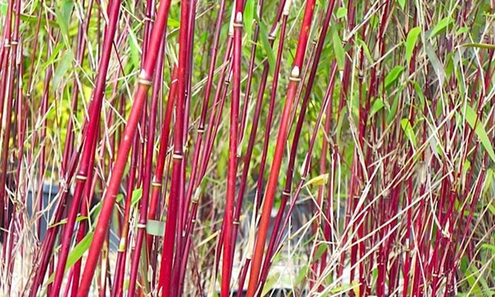 Non Invasive Bamboo Uk
